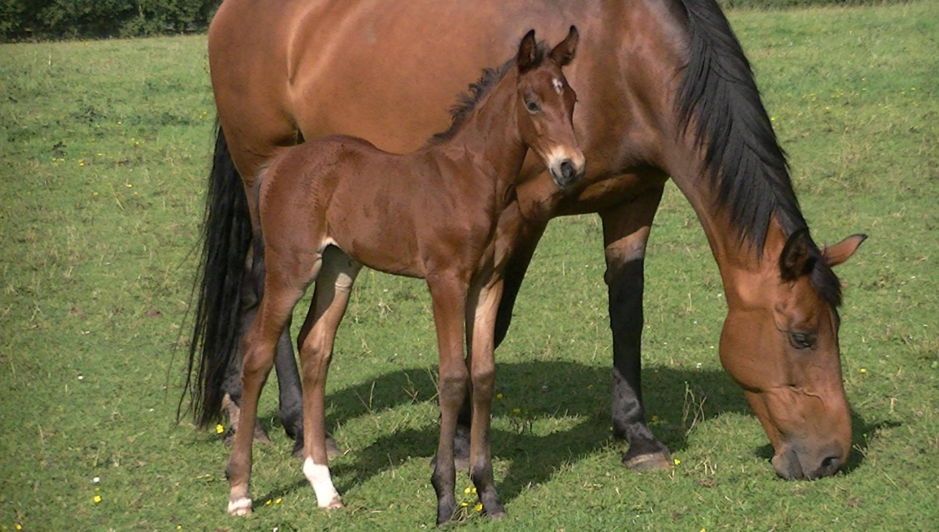 Filly Simba x Diamond Serpent (ISH)